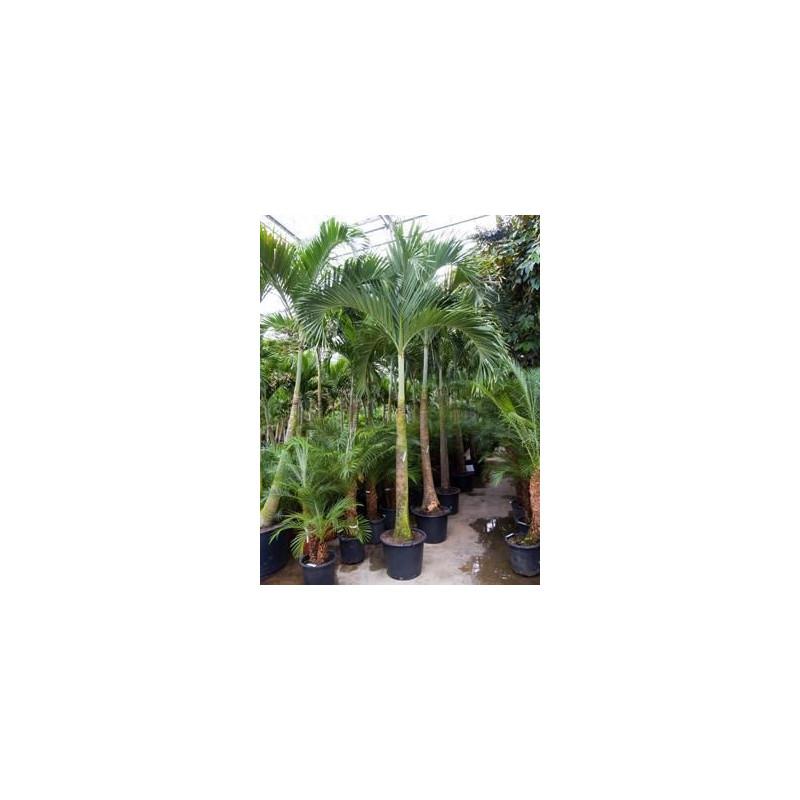 Veitchia merrillii  -  450 cm