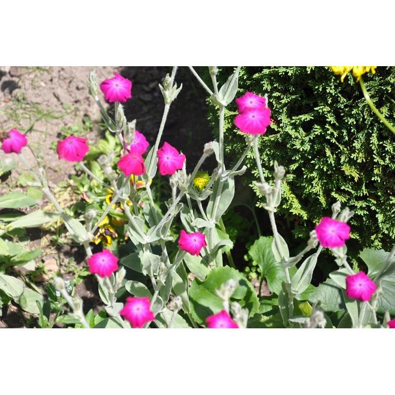Vente de coquelourde des jardins lychnis coronaria - Coquelourde des jardins lychnis coronaria ...