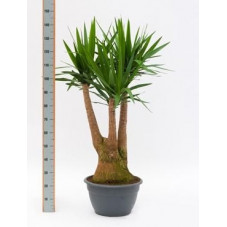 Yucca elephantipes  -  120 cm