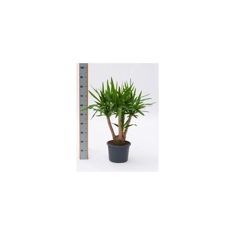 Yucca elephantipes ramifié  -  70 cm