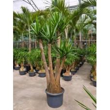 Yucca elephantipes ramifié  -  220 cm