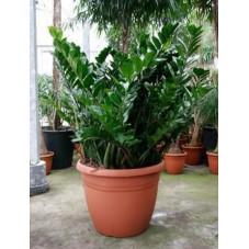 Zamioculcas zamiifolia  -  130 cm