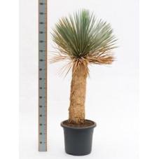 Yucca rostrata  -  tronc  -  140 cm
