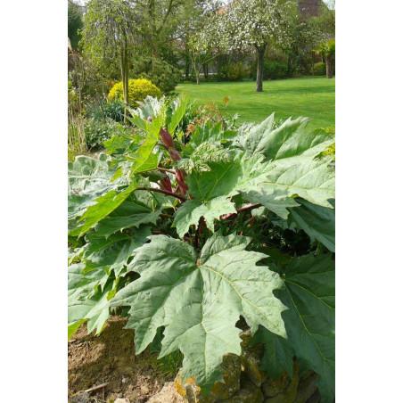 Rheum palmatum tanguticum (rubarbe)