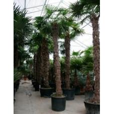 Palmier - trachycarpus fortunei - 525 cm