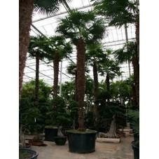 Palmier - trachycarpus fortunei - 700 cm
