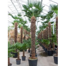 Palmier - trachycarpus wagnerianus  - 375 cm
