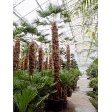 Palmier - trachycarpus wagnerianus  - 500 cm