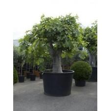 Figuier - ficus carica - gros tronc - 360 cm
