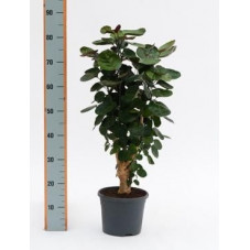 Aralia fabian  -  60 cm