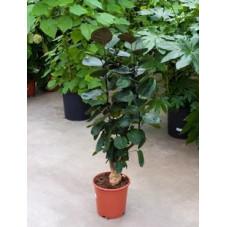 Aralia fabian  -  90 cm