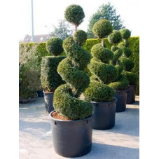 Taxus baccata  - spirale - 210 cm
