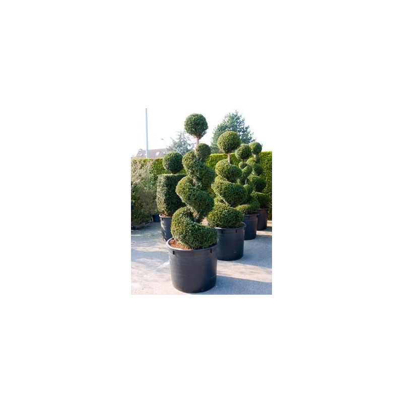 Vente de taxus baccata spirale for Decoration jardin spirale