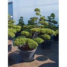 Taxus baccata  -  bonsaï