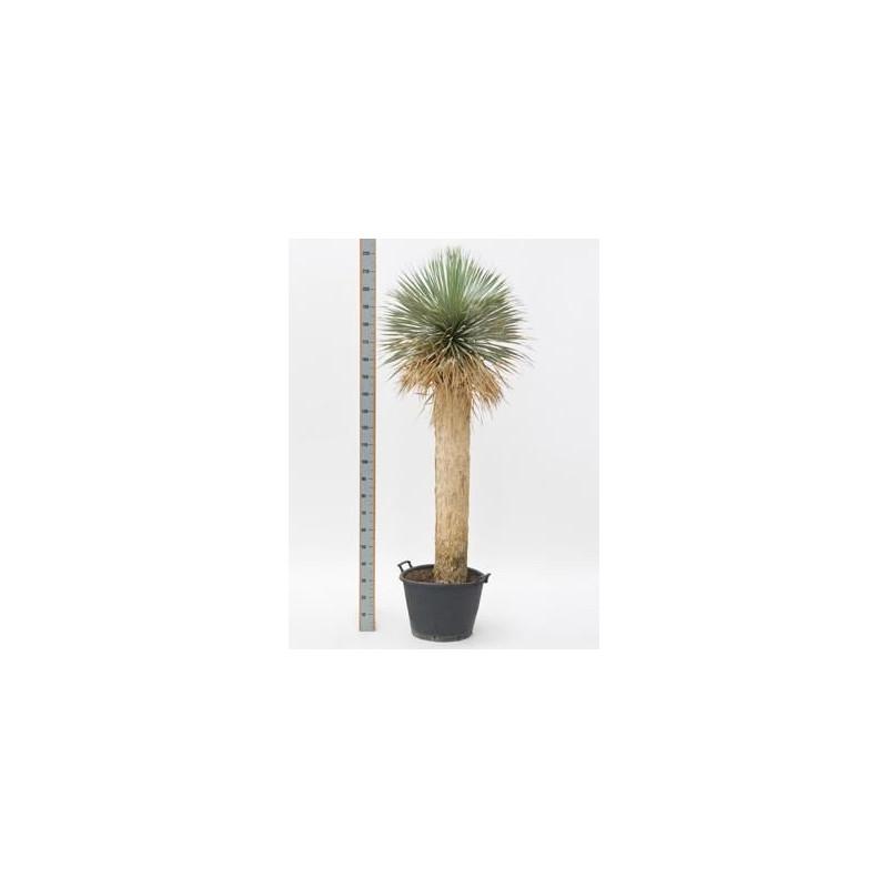 Yucca rostrata  -  tronc  -  190 cm