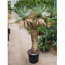 Yucca rostrata  -  tronc ramifié  -  165 cm