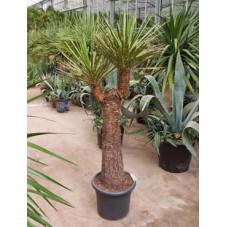 Yucca filifera  -  tronc - 160 cm