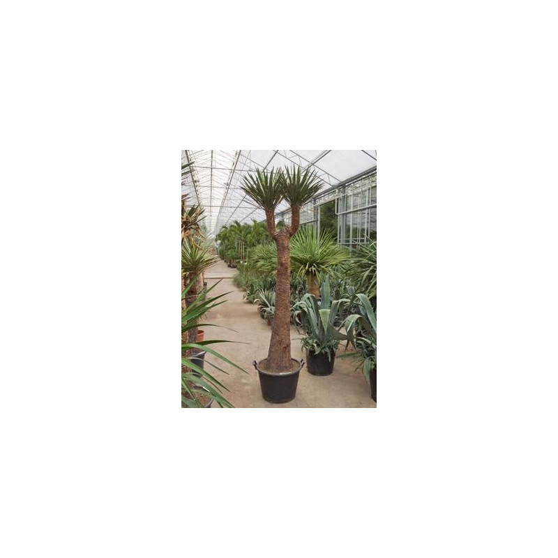Yucca filifera  -  tronc - 220 cm