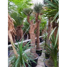 Yucca filifera  -  tronc - 250 cm