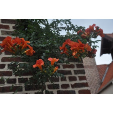 Campsis - Bignonia grandiflora