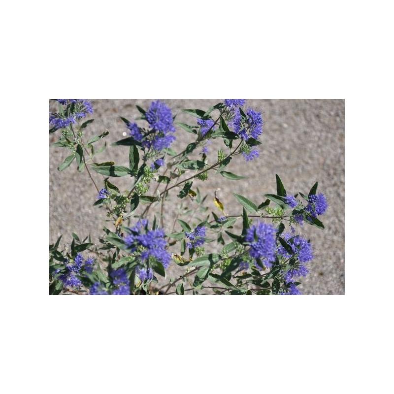 vente de caryopteris clandonensis heavenly blue. Black Bedroom Furniture Sets. Home Design Ideas