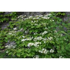 Vibirnum plicatum  shasta