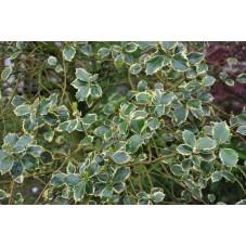 Houx panaché  -  ilex argentea marginata