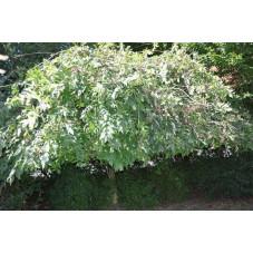 Frêne pleureur -  fraxinus excelsior pendula