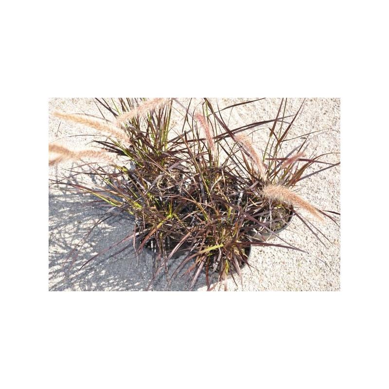 vente d 39 herbe aux couvillons pennisetum setaceum rubrum. Black Bedroom Furniture Sets. Home Design Ideas