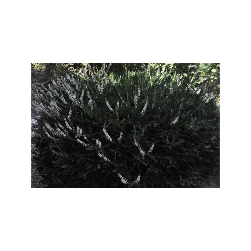 laurier palme zabeliana