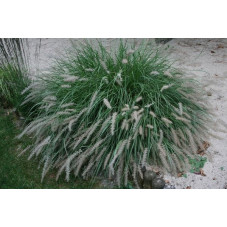 Pennisetum orientalis