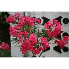 Laurier rose - nerium oleander