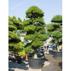 ilex crenata bonsaï - 280 cm