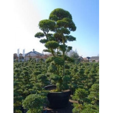 Ilex crenata bonsaï ramifié 350 cm