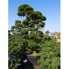 ilex crenata bonsaï ramifié 375 cm