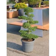 Ilex crenata bonsaï 130 cm