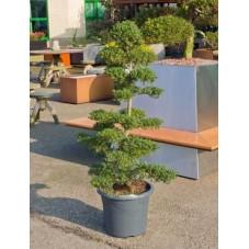 Ilex crenata - bonsaï 140 cm