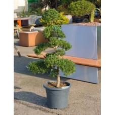 Ilex crenata - bonsaï 150 cm