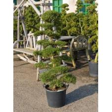 Ilex crenata - bonsaï 160 cm