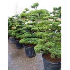 Pinus parviflora - bonsaï