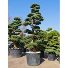 Pinus parviflora - bonsaï 425 cm