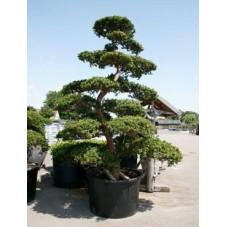 Taxus cuspidata - bonsaï 375 cm