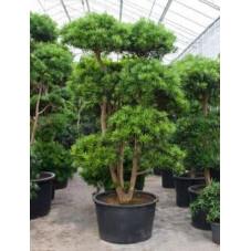 Podocarpus macrophyllus ramifié - bonsaï