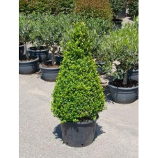 Buis pyramide 100cm - buxus sempervirens