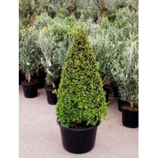 Buis pyramide 120cm - buxus sempervirens
