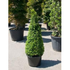 Buis pyramide 145cm - buxus sempervirens