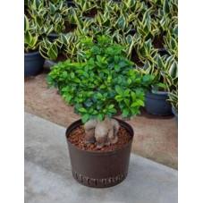 Ficus microcarpa ginseng 70 cm
