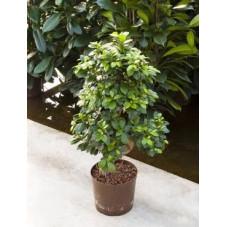 Ficus microcarpa - 65 cm