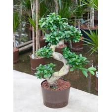 Ficus microcarpa - 95 cm