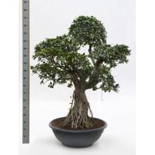 Ficus microcarpa compacta 160 cm